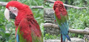 Scarlet Macaw by Blavi