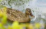 Mallard Duck by WhiteVolt
