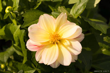 Collarette Dahlia flower by WhiteVolt