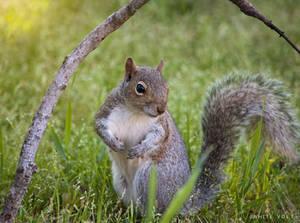 Squirrel poser