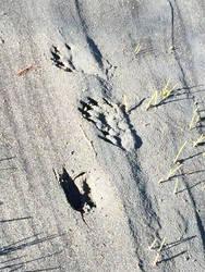 Kowee Creek, 2: otter tracks by cmmdrsigma