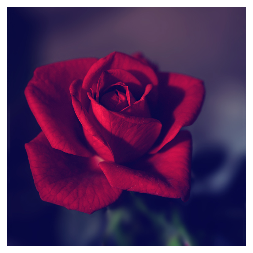 small red rose by jagerion on deviantart, Beautiful flower