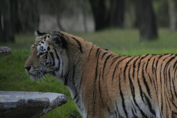 Tiger by Zenith-AzuraTiger