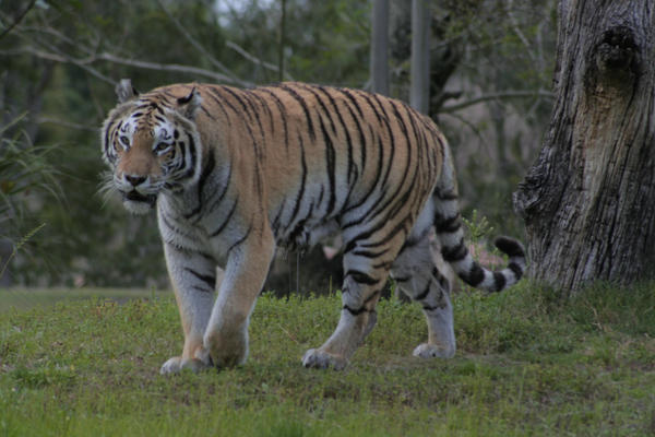 Tiger 2 by Zenith-AzuraTiger