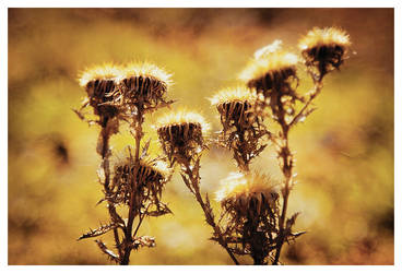 Thistles by soulcor3
