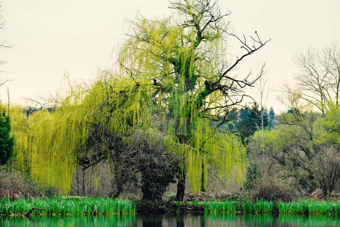 Willow tree by celine52