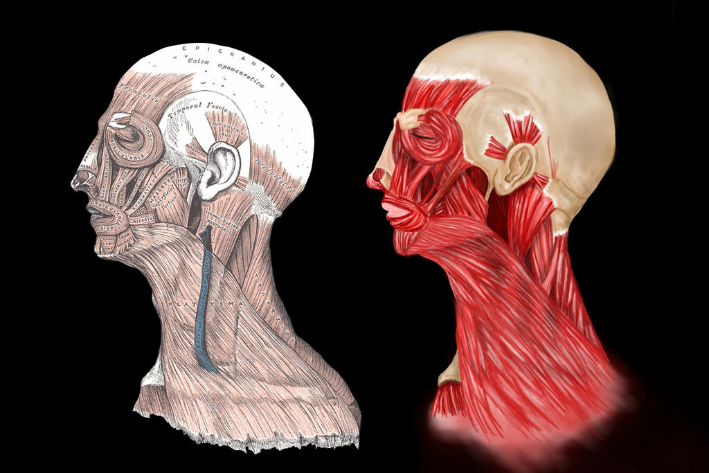 Sketch This Human Head Profile Muscles By Gallifreyan Dalek On