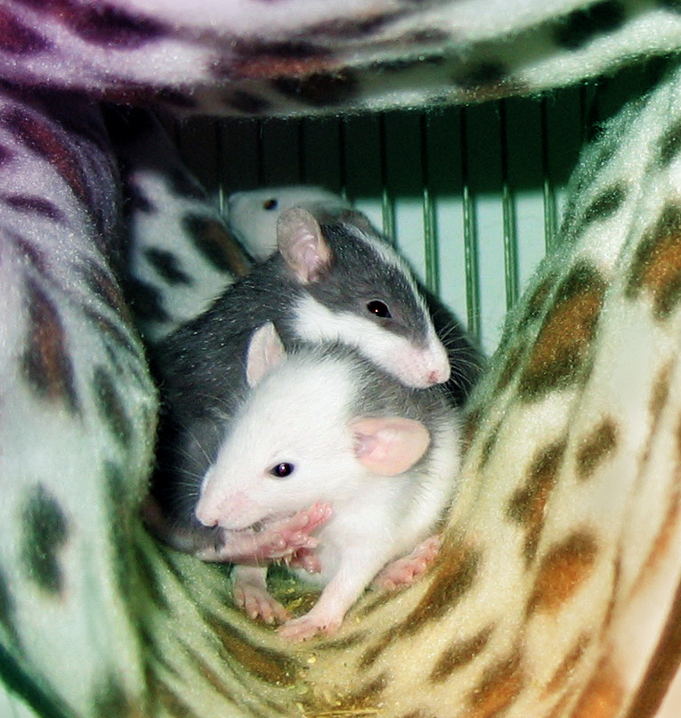 Ratties by marousha