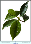 Leaves + Waterdrops - CUT OUT