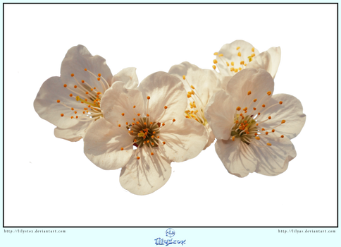 White Spring Blossoms- CUT OUT