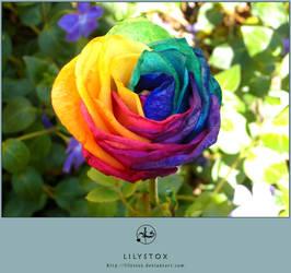 Multicolored Rainbow Rose