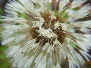 Droplets on a Dandelion