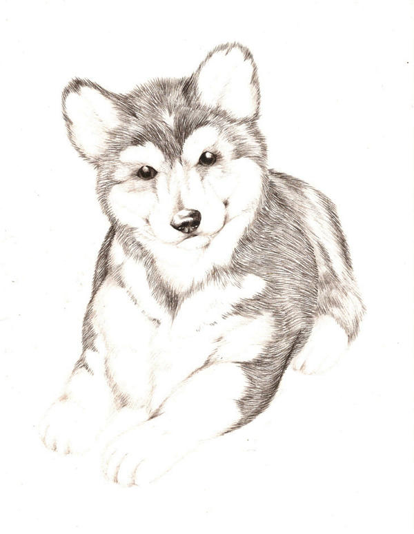 Husky Dog Drawing Husky Dog by Lyrebirdjacki