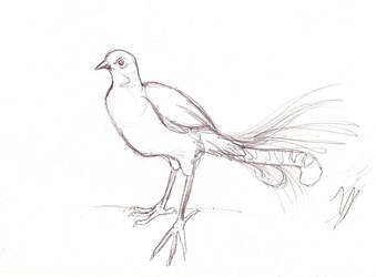 Lyrebird sketch by LyrebirdJacki