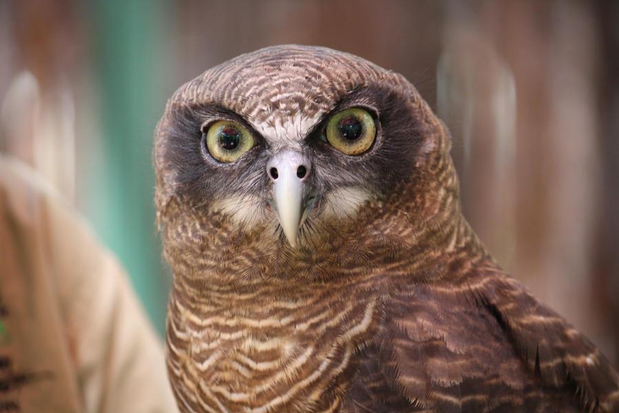 Rufous owl - photo#4