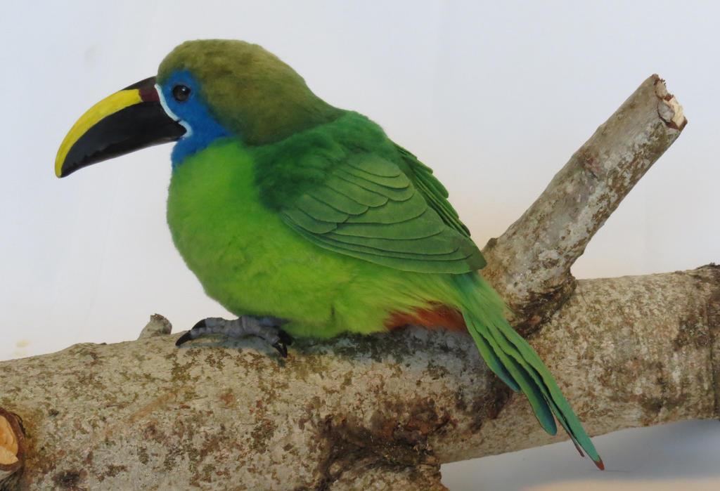 Emerald Toucanet by kimrhodes