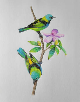 Green headed tanagers