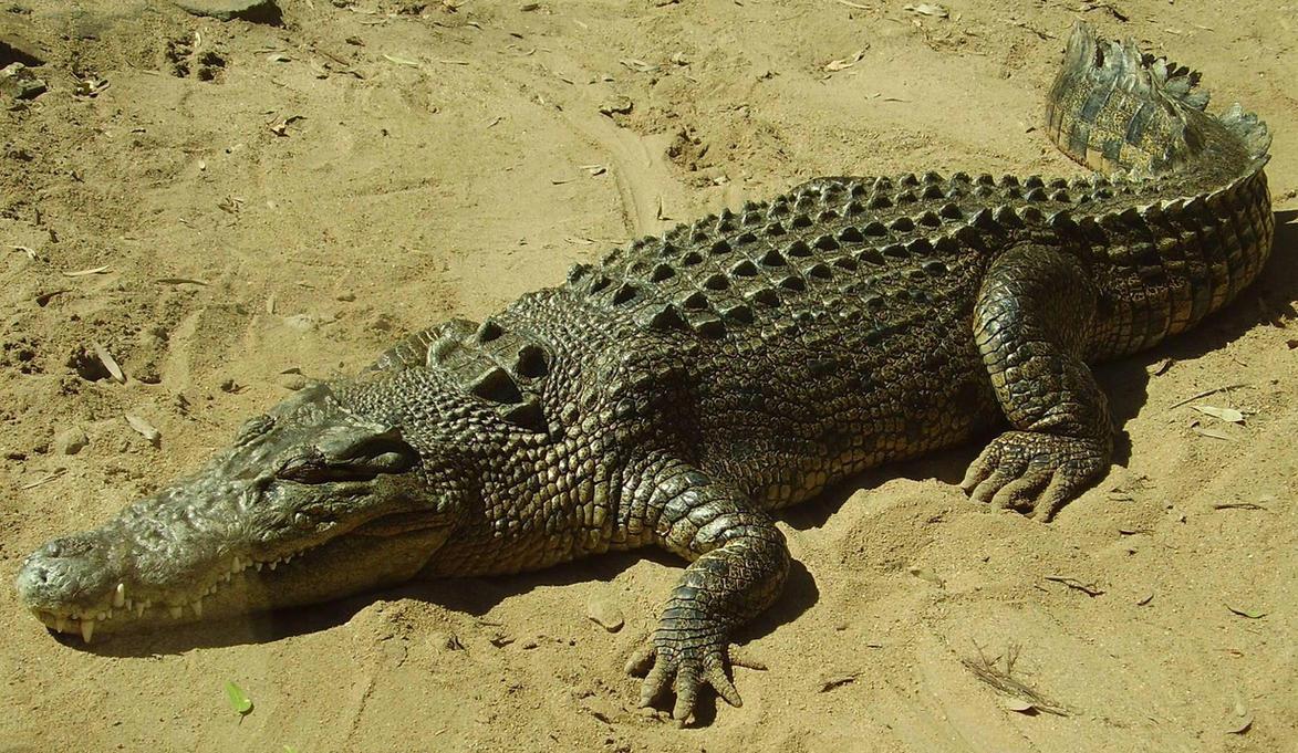 Crocodile by CharadeStock