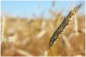 Barley by petrova