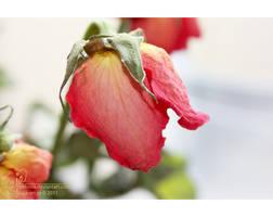 Strawberry rose by petrova
