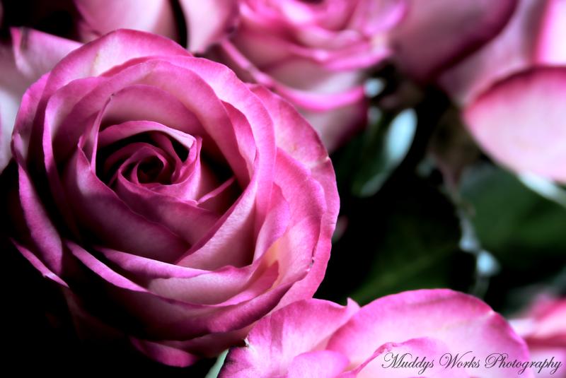 Anniversary Rose II by MuddyWorks
