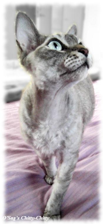 Devon Rex cat by EmmiP