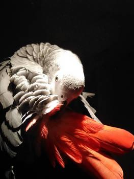 African Grey Parrot (Loro yaco)