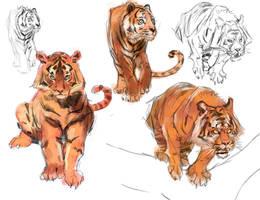 Tiger Studies by medders
