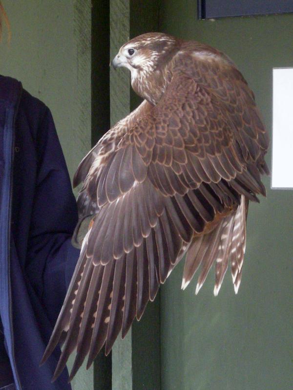Falcon by powder-monkey