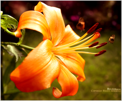 Dreamed Focus- Orange Flower by belez
