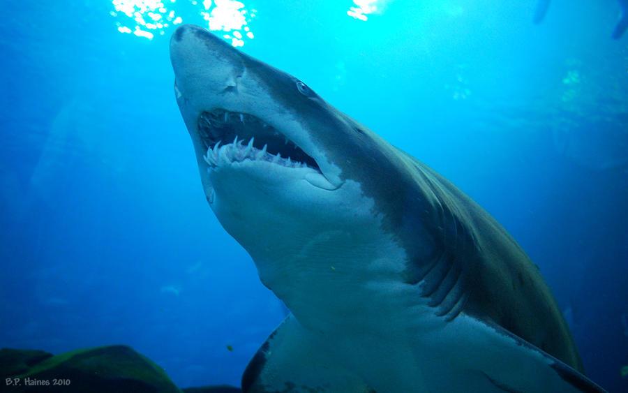 Georgia Aquarium Sandtiger By Bphaines On Deviantart