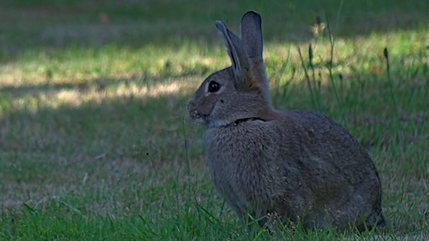 Guard Rabbit