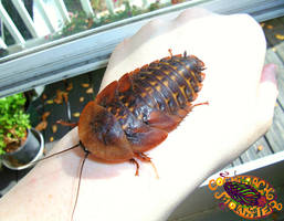 Giant Cave Roach Nymph by Blattaphile