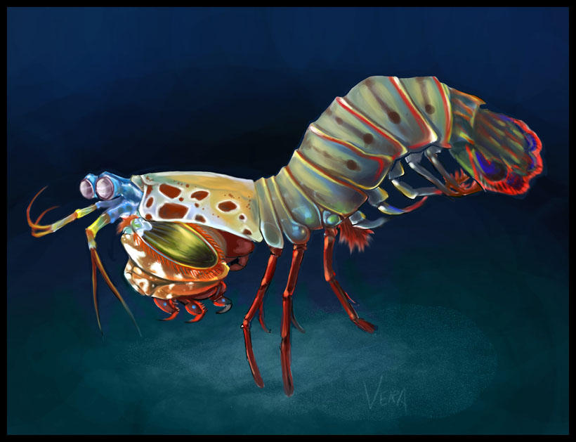 mantis shrimp by Blattaphile on DeviantArt