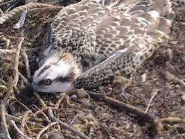juvenile Osprey - Persian Gulf by matmohair1