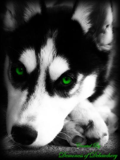 Green eyed husky by demonicus-nymphus on DeviantArt