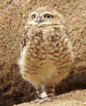 Small owl 2