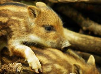 Little wild boar by JanuaryGuest
