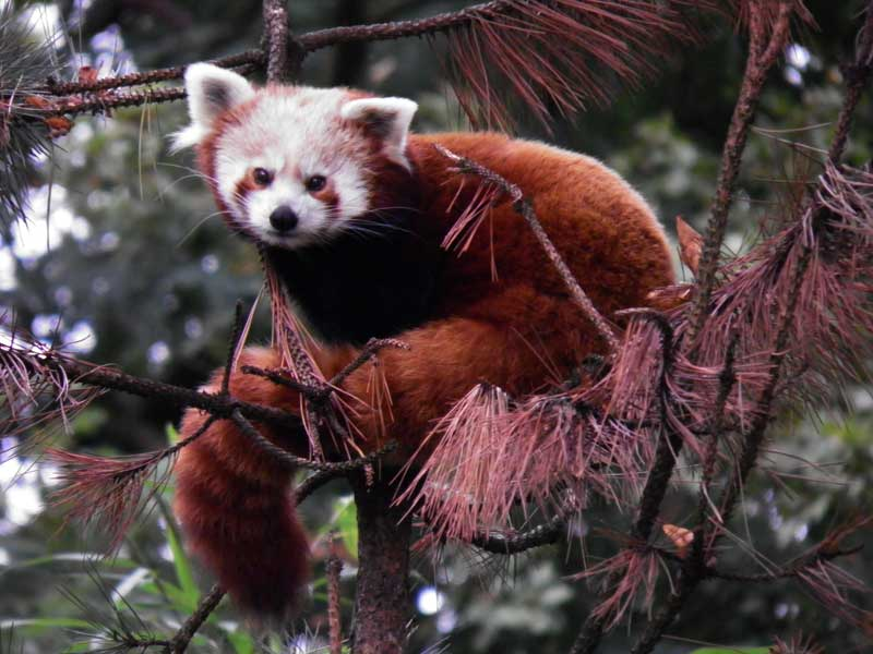 Little red panda 1 by JanuaryGuest