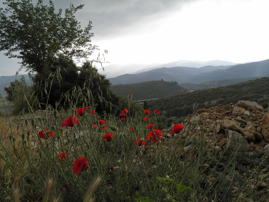 Poppies at Samos by JanuaryGuest