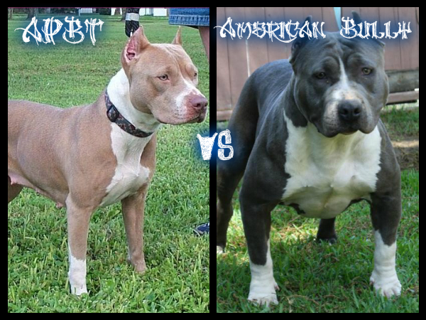 APBT VS American Bully by DojoWolf on DeviantArt