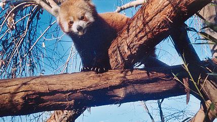 Raja the Red Panda