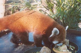 Red Panda, Yoda