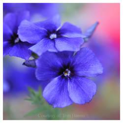 My Blue Heaven II
