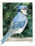 Blue Jay Watercolor