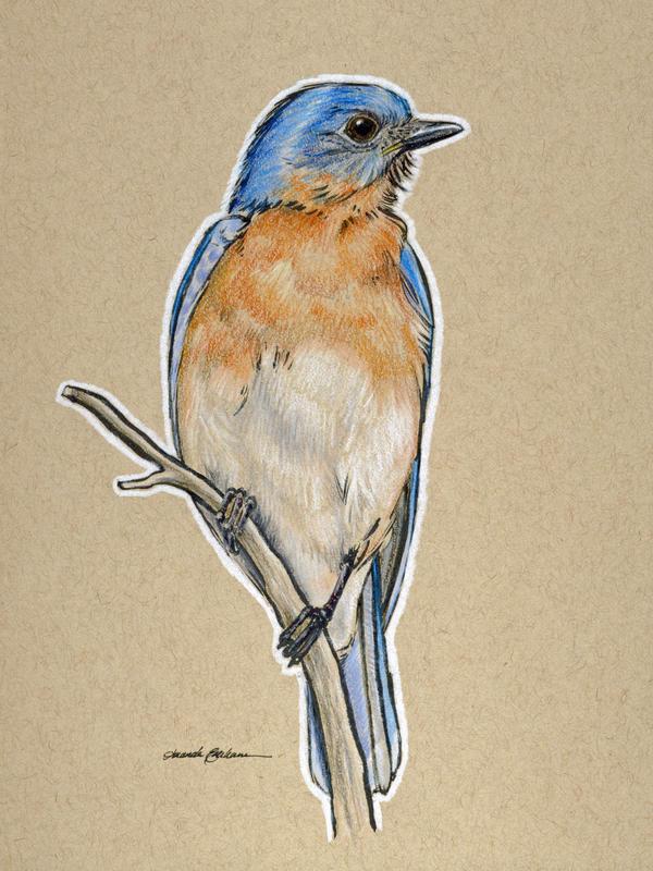 Birds 25 - Eastern Bluebird by M-Everham