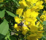 Fly on yellow blooms