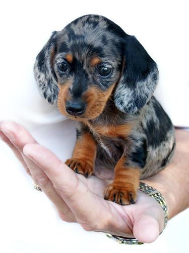 Emma-baby dachshund by TriggerArtist