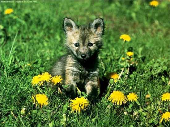 Wolf Baby By Xkissingrazorbladesx On Deviantart