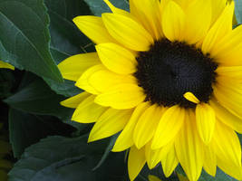 SunFlower by mythirll